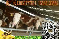 肉牛牛犊母牛