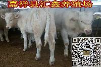 养10头牛犊一年的利润小公牛