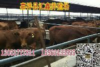 改良肉牛可以放养吗小公牛