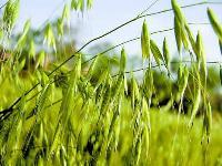 全胚芽燕麦祼米全谷燕麦王内蒙特产燕麦仁破壁去芒燕麦