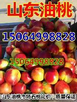 山东油桃价格,大棚油桃今日价格,山东油桃产地货量猛增
