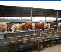 北方养牛什么品种好