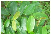 甘肃藤茶提取物   种植基地    量大从优   欢迎采购