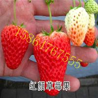 红颜草莓苗价格