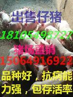 猪场供应优质三元猪苗