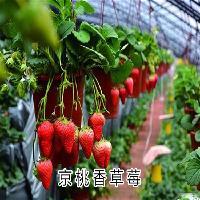 黄桃味的京桃香草莓苗你吃过吗