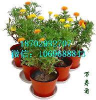 叶黄素20% 厂家直销 万寿菊提取物