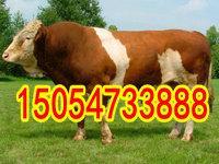 育肥牛价格