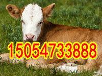 鲁西黄牛肉牛养殖