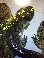 2017年不同规格娃娃鱼价格,大娃娃鱼多少钱一斤