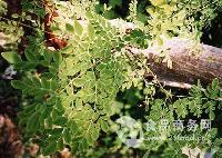 百草萃 天然辣木提取物99% 植物原粉无添加