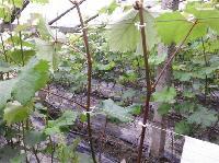 葡萄/番茄/西瓜/黄瓜/辣椒/园艺抗氧化捆扎绳、捆扎带