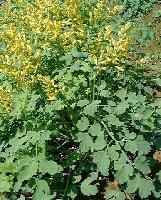 百草萃 优质盐酸小檗碱 黄连素 98%