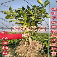 福建管溪三红柚子树苗价格【满园丰苗木】