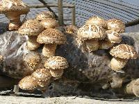 精品级干香菇