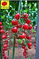 美娜小番茄种子,圣女果老品牌,广西现代立新厂家供应价格