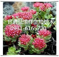 红景天多酚   种植基地    量大从优   欢迎采购