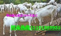 骆驼奶粉羊奶羊初乳会销产品中老年保健品会销代加工