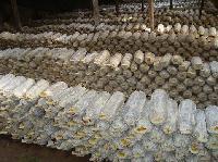 山东灵芝菌种供应 灵芝菌种购买 灵芝菌种大量出产 供应灵芝菌棒