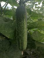 供应广东广西 水果吊瓜种子 现代立新大湖溪1号 厂家直销价格