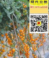 现代立新金香蜜,抗病高产味好的优质樱桃番茄种子供应价格