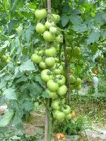 广西现代立新供应赈灾级别高品质大番茄种子澳宝