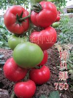 精大果粉色高产耐寒西红柿种子—粉贝娜750