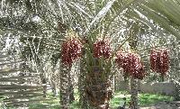 椰枣提取物 销售 厂家 价格 含量 批发