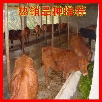 小牛犊在什么地方买