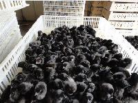 重庆黑鸡苗批发,重庆黑鸡苗价格;求购重庆黑鸡苗养殖基地