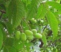 纯天然植物精油 橄榄油 橄榄精油 现货