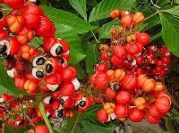 瓜拉纳提取物 厂家直销优质原料 瓜拉纳粉10:1