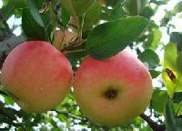 山东早熟苹果今日价格