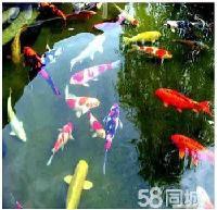 渔场出售各种淡水鱼苗,2-3公分夏花小鱼苗观赏鱼