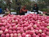 今年陕西苹果产地价格 今天最新【陕西苹果批发价格】
