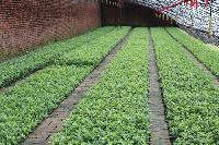 蓝莓种苗,蓝莓小苗