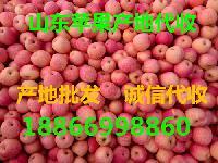 今日山东红富士苹果价格 优质山东红富士苹果批发价格