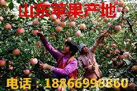 红富士苹果批发什么价格 山东红富士产地批发价格详细