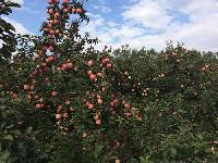 2017年最新山东红富士苹果价格