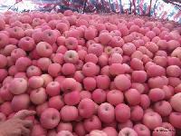 2017年最新山东红富士苹果批发价格
