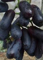 *葡萄品种