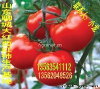 专业代收西红柿——山东聊城莘县