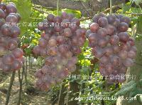 食品原料 浓缩果汁原浆用于饮料等食品 大量优质的浓缩红葡萄汁