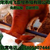 *肉牛价格 400斤左右小牛犊价格