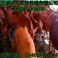 鲁西黄牛肉牛 今日肉牛犊价格