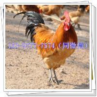 北川蛋鸡苗价格多少钱