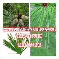 松针酵素粉厂家直销  宁夏野生松针粉  松针提取物 食品级