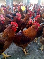 鸡苗品种有哪些 红玉鸡苗 笨鸡苗柴鸡鸡苗