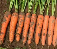 日本进口三红胡萝卜种子
