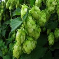 冠捷生物 啤酒花提取物 黄铜4%